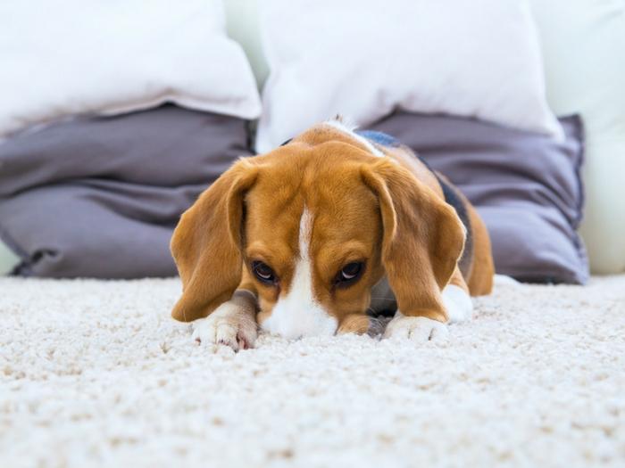 ¿Cómo saber si tu mascota está triste o deprimida?